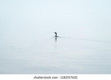 Waterfowl lone on water, bird Podiceps cristatus