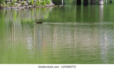 Waterfowl in the pond