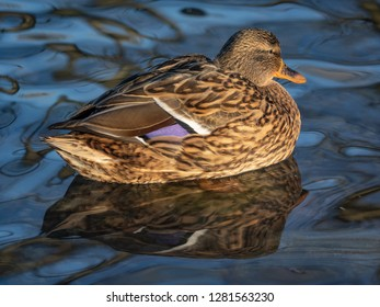 waterfowl rests floating on the water of a pond