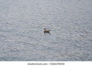 Waterfowl in the sea