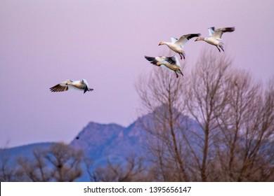 Waterfowl snow geese mallard migration colusa wildlife refuge