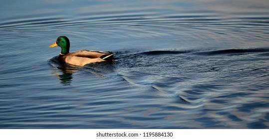 Waterfowl Swimming on Lake - Duck Goose Crane Loon Swan