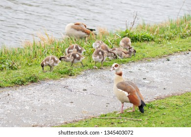 Waterfowl and their chicks. Spring time.