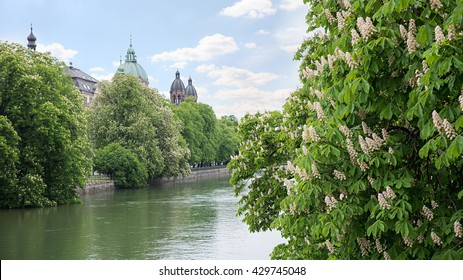 waterfront of isar river munich, with blooming chestnut trees in may