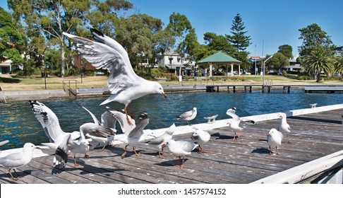 Waterfront timber marina/dock with Seagulls (Silver Gulls) chasing food scraps. Toronto waterfront parkland with water and blue sky backdrop.