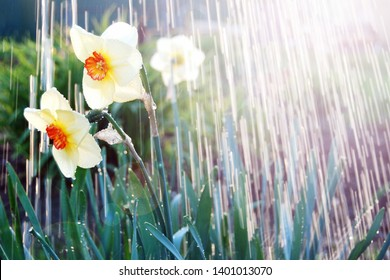 Watering daffodils flowers, april showers bring may flowers