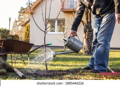 Im Garten werden frisch gepflanzte Obstbäume gepflanzt. Senior man Gärtnern in seinem Garten im Frühling. Nach dem Anpflanzen des Baumes kann man mit einer Wasserfauna