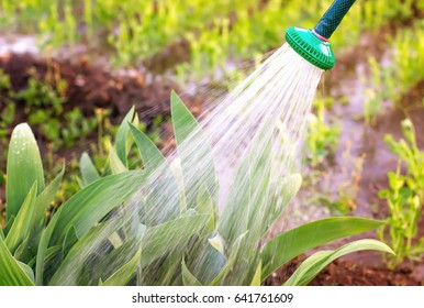 Watering garden plants, fighting pests, on a hot summer day, irrigation with water in the garden