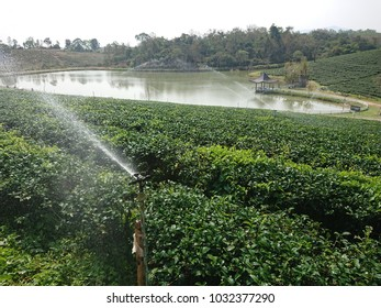 watering green tea plantation for make healthy food