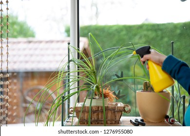 Watering a home plant by a window from a sprinkler