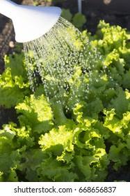 watering in the lettuce garden
