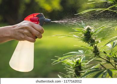 Watering marijuana plant by aerosol can. Spraying cannabis leaves against pests using organic solution. Outdoor marijuana farm