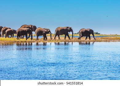 Watering in the Okavango Delta. Herd of elephants adults and cubs crossing river in shallow water. The oldest national park in Botswana - Chobe National Park