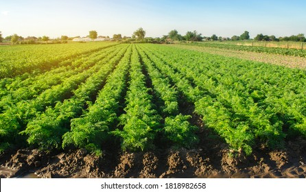Watering plantation landscape of green carrot bushes. European organic farming. Growing food on the farm. Agroindustry and agribusiness. Root tubers.