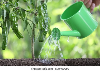 watering plants with watering can. green peppers in vegetable garden. close up