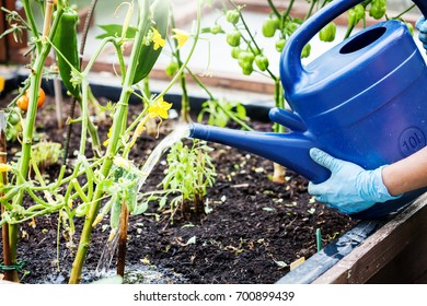 Watering plants in the raised bed