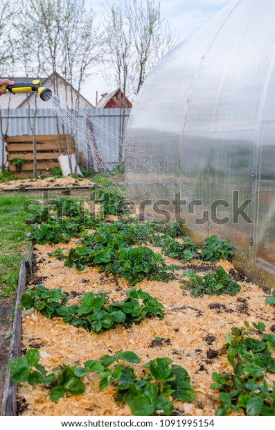 Watering Raised Strawberry Bed Mulched Wood Stock Photo