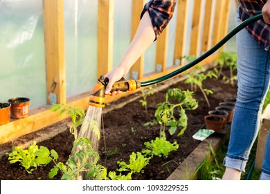 Watering seedling tomato plant in greenhouse with watering hose, vegetable garden. Gardening concept