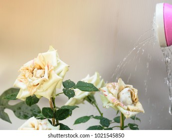 Watering the white rose with white background, to be fresh flower, feeling love and warming, white rose color is blooming in the morning.