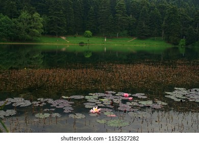 Waterlilies at Golcuk Natural Park, Bolu Province, Turkey, May 20th 2018