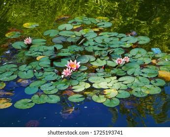 Waterlilies in still water in a botanical garden