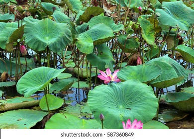 Waterlillies at Yellow Water Billabong in Kakadu, Australia's Northern Territory with flowers and lily pads