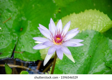 waterlily flower with bee at botanic gardens on Grand Cayman Island