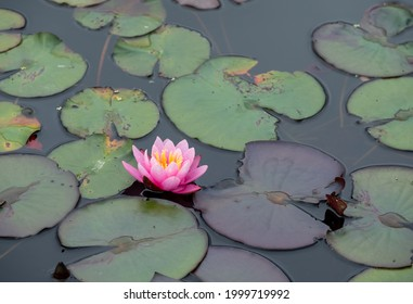 Waterlily flower and lilypads in a pond near Oxford, UK.