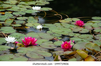 Waterlily flowers and lilypads in a pond near Oxford, UK.