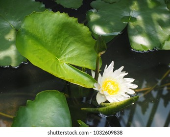 Waterlily green leaf background