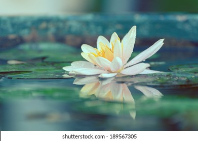 waterlily or lotus flower in a pond with rain drop pastel or vintage style