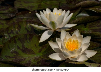 Waterlily on a lake. Water lilies are are family of aquatic flowering plants, called nymphaeaceae.