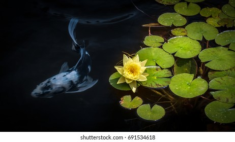 Waterlily pads and blossom in a water pond with a koi swimming below