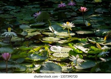 Waterlily in Tao Dan park, a central park of Hochiminh City.