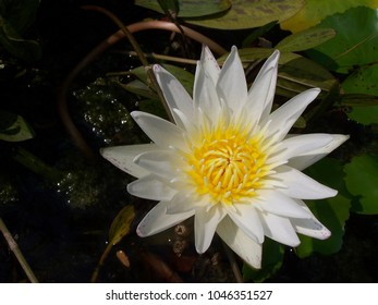Night blooming flowers images stock photos vectors shutterstock waterlily is a water plant the stem is a head or rhizome like mightylinksfo