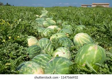 Watermelon field in picking season