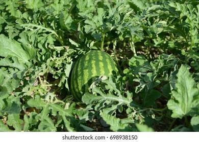 Watermelon in the garden.