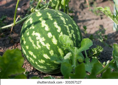 watermelon in the garden lying on the ground in the garden, summer and autumn vegetable crop, close-up