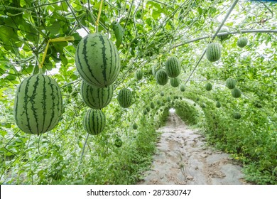 Image result for watermelon trees