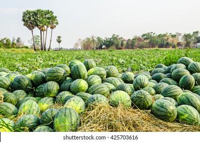 Watermelon Group in Farm Green.
