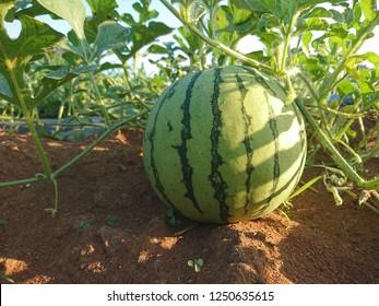 Watermelon growing in farm.