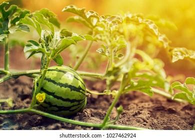Watermelon growing in the field