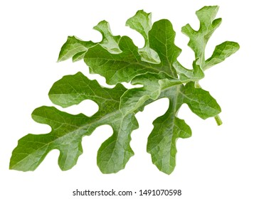 Watermelon leaves isolated on white background. Watermelon leaf clipping path. Food photography