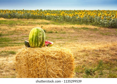 Watermelon on haystack and field of sunflowers