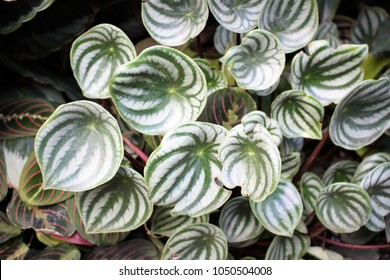 Watermelon Peperomia (Peperomia argyria) is an exotic foliage houseplant with beautifully patterned green and white leaves and pink/red stems. Pretty natural texture, top down view. Indoor gardening.