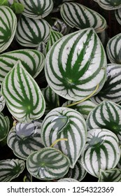 Watermelon peperomia is the common name used for a popular species from the Peperomia genus named Peperomia argyreia.Named watermelon for its similarity of appearance to the rind(skin) of a watermelon