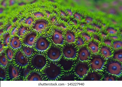 Watermelon zoanthid coral
