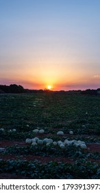 Watermelons growing on the field against the setting sun