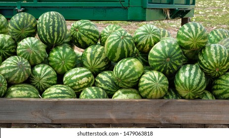 Watermelons are sold at farmers market after harvest. Healthy eating. Lots of juicy and ripe watermelons.