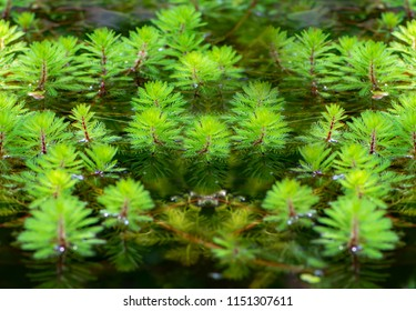 A lot of watermilfoil plants in a pond